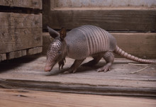 Baby Armadillo In Barn