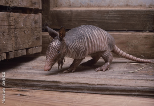 Baby armadillo in barn Wallpaper Mural