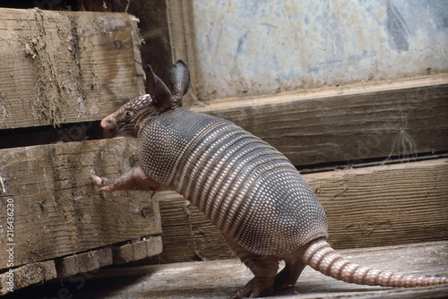 Baby armadillo Wallpaper Mural