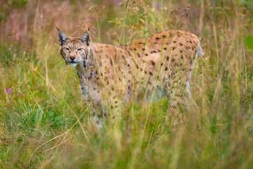 Eurasian lynx walking in the grass at summer