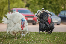 Two Turkeys Black And White On A Farm