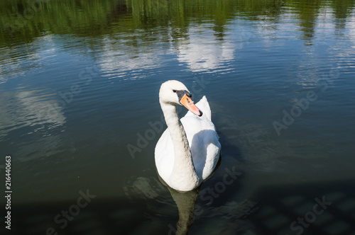 Foto op Plexiglas Zwaan White Swan on the lake and its reflection in the water.