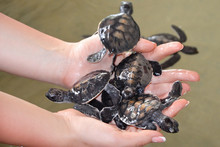 Female Hands Hold Small Turtle...