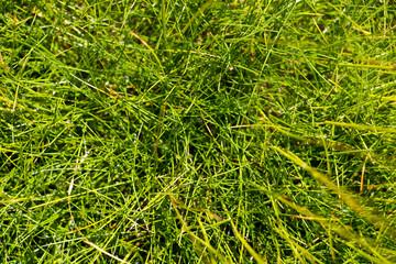 Green Festuca Gautieri (Scoparia Teddybear) decorative grass, close up.