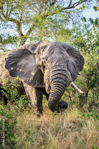 Old Elephant at Dawn in the Bush Poster