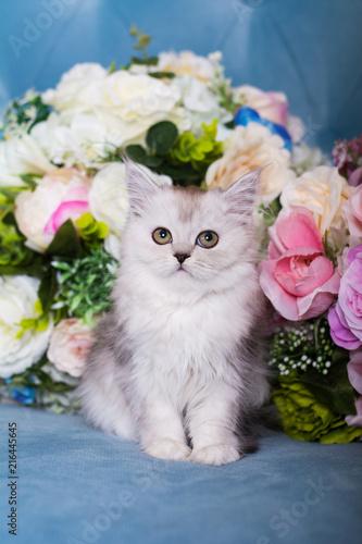 Valokuva the Scottish kitten sits in flowers