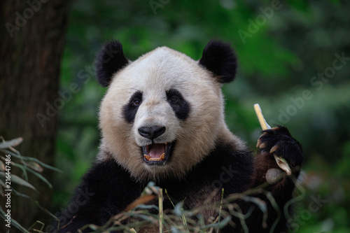 Panda Bear Eating Bamboo, Bifengxia Panda Reserve in Ya'an Sichuan Province, China. Panda looking at the viewer with mouth open, eating a large chunk of Bamboo. Endangered Species Animal Conservation