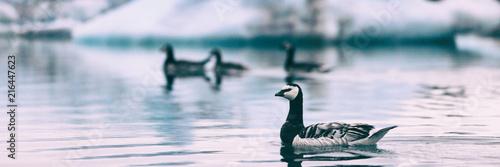 Arctic wildlife animals - goose birds swimming in Jokulsarlon lake, Iceland banner panorama travel background landscape.