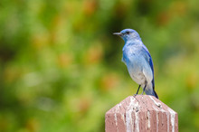 Regal Mountain Bluebird Perched Atop A Wooden Post