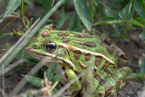 Tuinposter Kikker huge green frog