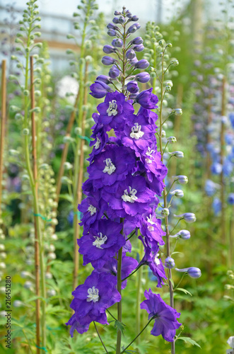 Purple delphinium flowers in greenhouse Fototapete