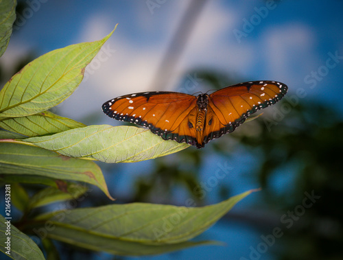 isolated macro image of fancy butterfly, Queen butterfly (Danaus gilippus)