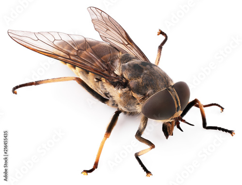 Macro shot of fly isolated on white background. Bot fly insect close-up