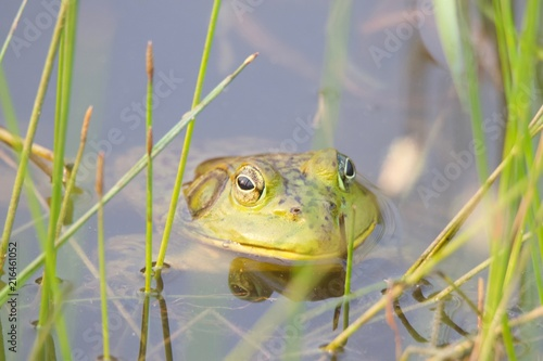 Tuinposter Kikker Shiloh Ranch Regional California bullfrog. The park includes oak woodlands, forests of mixed evergreens, ridges with sweeping views of the Santa Rosa Plain, canyons, rolling hills, and a pond.