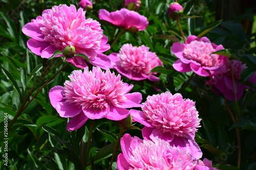 Photo sur Toile Dahlia Pink flowers