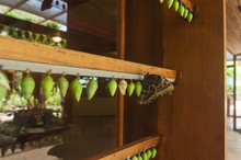 Rows Of Blue Morpho Butterfly Chrysalises