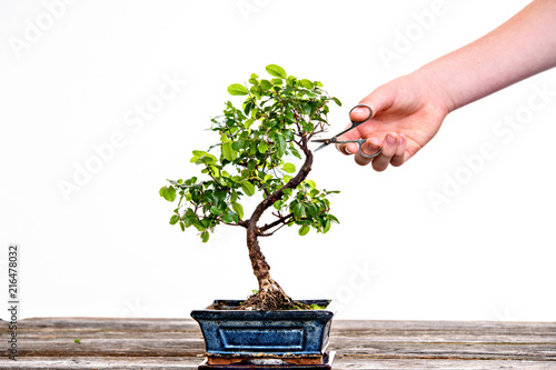 Recess Fitting Bonsai sagaretie bonsai in blue bowl on wooden board with gardeners hand