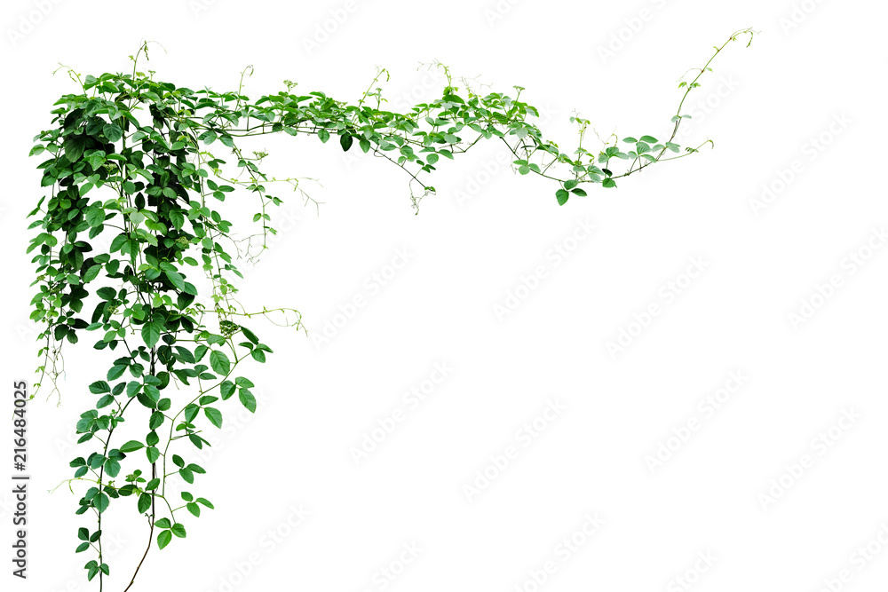 Fototapeta Bush grape or three-leaved wild vine cayratia (Cayratia trifolia) liana ivy plant bush, nature frame jungle border isolated on white background, clipping path included.