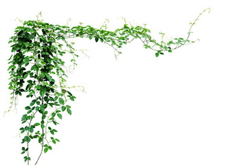 NaklejkaBush grape or three-leaved wild vine cayratia (Cayratia trifolia) liana ivy plant bush, nature frame jungle border isolated on white background, clipping path included.