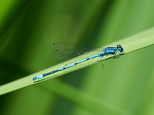A Southern Blue Damselfly Surr...