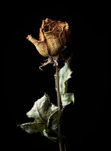 Withered Rose On Black Backgro...