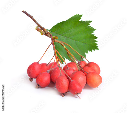 Canvas Print Crataegus sanguinea, common names redhaw hawthorn or Siberian hawthorn