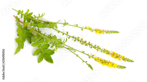 Agrimonia eupatoria, agrimony, church steeples or sticklewort Wallpaper Mural