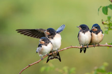 Four Nestling Barn Swallows (Hirundo Rustica) Waiting For Their Parents.