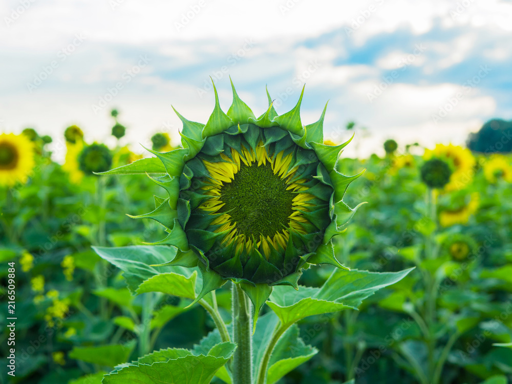 Symmetric sunflower bud starting to bloom, close up
