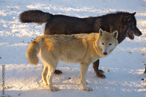 Fotografia, Obraz  Пара волков на снегу.