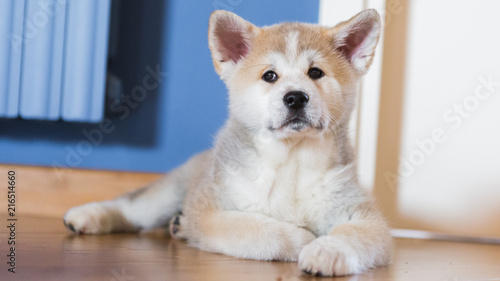 Japanese Akita Inu Puppy White And Red Dog Close Up Buy This Stock Photo And Explore Similar Images At Adobe Stock Adobe Stock