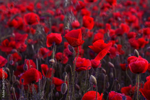 In de dag Poppy Flowers Red poppies blossom on wild field. Beautiful field red poppies with selective focus. Red poppies in soft light. Opium poppy. Glade of red poppies. Toning. Creative processing in dark low key