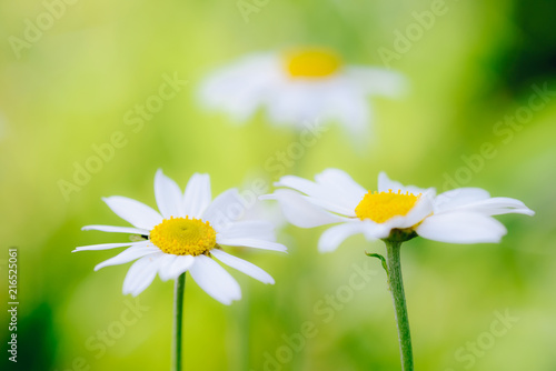 Foto op Canvas Madeliefjes White camomiles daisy flowers on green meadow