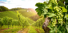 Vineyards With Grapevine And Winery Along Wine Road In The Evening Sun, Austria Europe