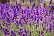 Blooming lavender in garden (violet flowers)