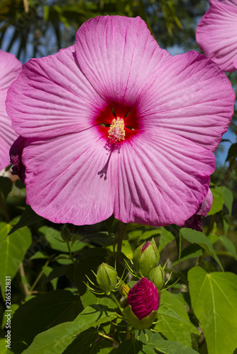 Fotografie, Obraz  Fleur d'hibiscus géant