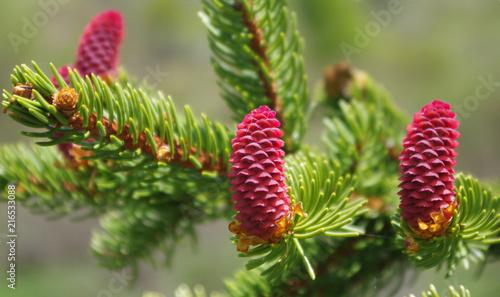 Jeune et petite pomme de pin marron sur un sapin en forêt en montagne