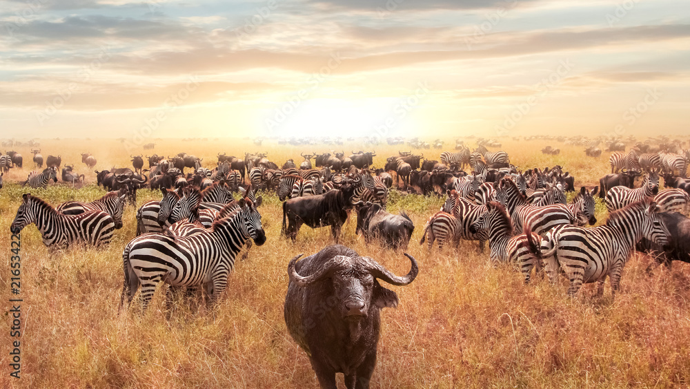 Fototapety, obrazy: African buffalo and zebra in the African savannah at sunset. Serengeti National Park. African artistic image.