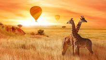 Giraffes In The African Savanna Against The Background Of The Orange Sunset. Flight Of A Balloon In The Sky Above The Savanna. Africa. Tanzania.