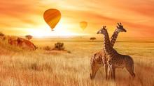 Giraffes In The African Savann...