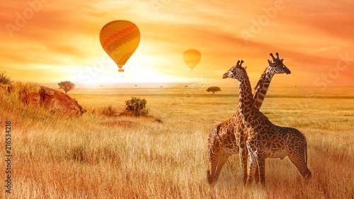 Żyrafy w afrykańskiej sawannie na tle pomarańczowego zmierzchu. Lot balonu na niebie nad sawanną. Afryka. Tanzania.
