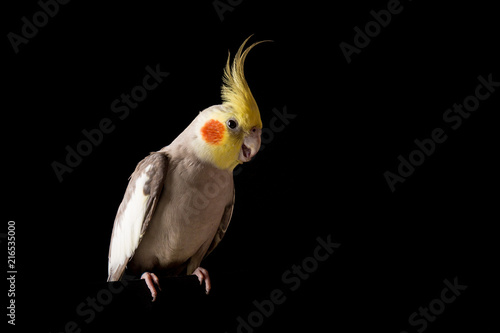 Valokuva  Cockatiel Portrait, Cute Parakeet Sitting with open beak, isolated on black back