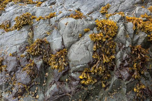 Bladderwrack Seaweeds Clinging on Rock at lowtide along Pacific Ocean Wallpaper Mural