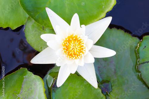 Foto op Canvas Lotusbloem Beautiful white-yellow lotus's pollen close up.