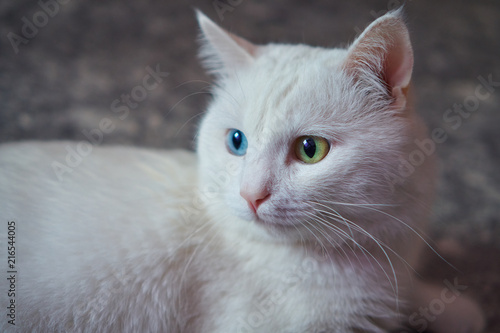 Photo Cat with 2 different-colored eyes (heterocromatic eyes) — Turkish Angora