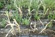Dürreperiode in Deutschland 2018, vertrocknete Maispflanzen auf dem Feld