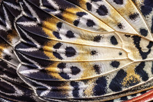 Closeup The Leopard Lacewing (Cethosia Cyane Euanthes Fruhstorfer)wing, Butterfly Wing Detail Texture Background