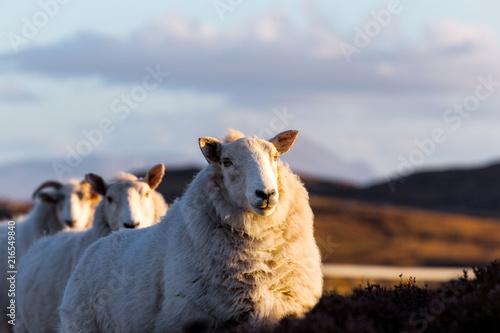 Fotobehang Schapen Sheeps on the highway A836 in the scottish highlands