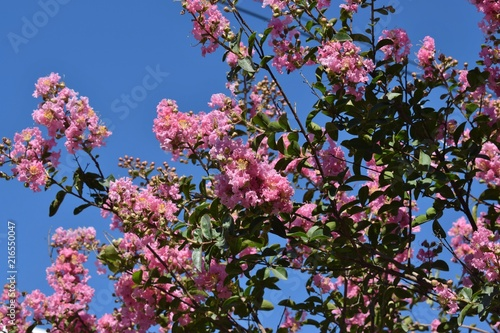 Pink Fluffy Flowers Are Hanging In Clusters On A High Bush Buy