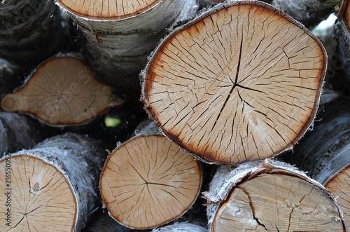 Fototapeta Brzoza (Betula) - ścięte drzewa, kłody obraz